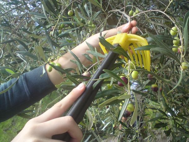 Αποτέλεσμα εικόνας για ελαιόδεντρων