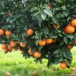 oranges_trees